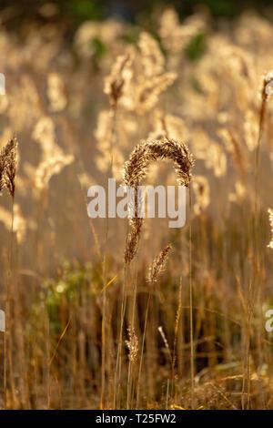 Backlit reeds along the shoreline of Loch an Eilein, Aviemore Scottish Highlands, Scotland. - Stock Photo