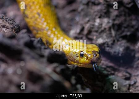The Cape Cobra (Naja nivea), also called the yellow cobra. - Stock Photo