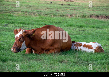 Cow And Calf At Zunderdorp The Netherlands 2018 - Stock Photo
