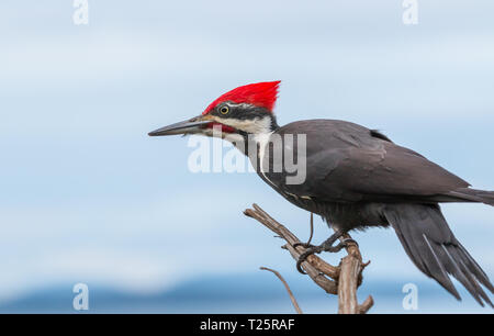 A Pileated woodpecker ' Dryocopus pileatus ' perched on a branch in British Columbia Canada ,having a rest before looking for food. - Stock Photo