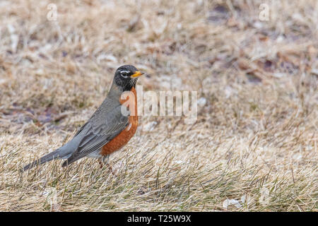 American red-breasted, male Robin standing in profile on ground in patch of thatch and spring grass.  Shallow depth of field.  Landscape orientation. - Stock Photo