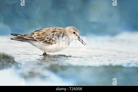 Close up of Sanderling (Calidris alba) in water looking for marine crustaceans and fish to eat. - Stock Photo