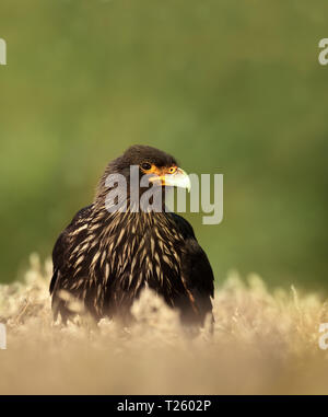 Close-up of Striated Caracara (Phalcoboenus australis) against green background, Falkland islands. - Stock Photo