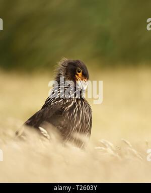 Close-up of Striated Caracara (Phalcoboenus australis) against green background, Falkland islands. - Stock Photo
