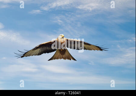 Close up of a Red kite in flight against blue sky, Chilterns, Oxfordshire, UK. - Stock Photo
