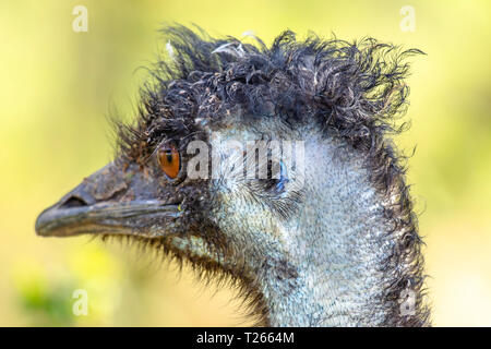 Close up profile portrait of emu ostrich looking right .Blurred background .Animal head.Wildlife photography.Largest, flightless specie of bird on the - Stock Photo