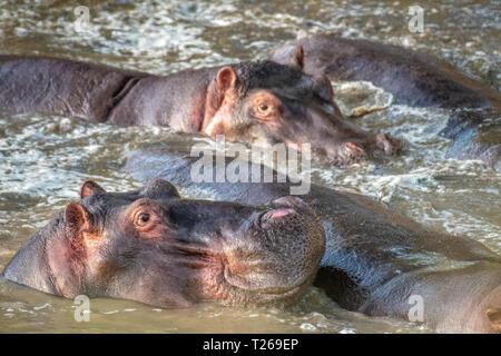 Several Common hippopotamus (Hippopotamus amphibius)  bathe in the muddy water at Maasai Mara National Park, Kenya. - Stock Photo