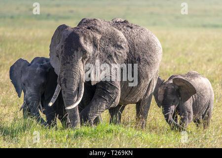 Three African bush elephants (Loxodonta africana), aka African savanna elephants in Maasai Mara National Reserve , Kenya