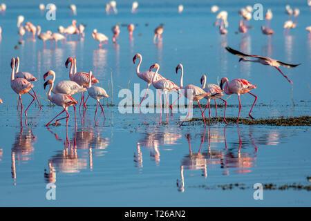 Lesser flamingo (Phoeniconaias minor)Lake Nakuru, Kenya - Stock Photo
