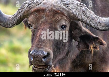 A Cape buffalo (Syncerus caffer),Nakuru National Park, Kenya - Stock Photo