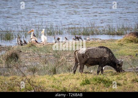 Nakuru National Park, Kenya -  Cape buffalo (Syncerus caffer) - Stock Photo
