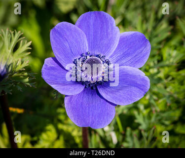 A single violet blue flower of anemone (windflower) De Caen variety. - Stock Photo