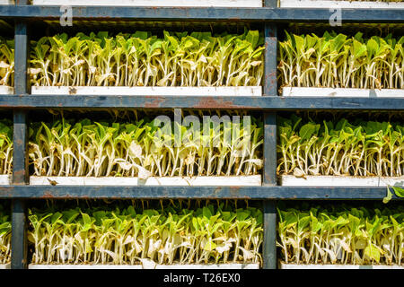 Closeup view of racks with tobacco sprouts ready for planting - Stock Photo