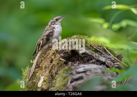 Eurasian treecreeper sitting on a mossy stump - Stock Photo