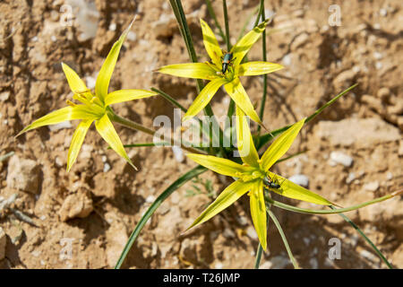 wild yellow stolonous gagea growing in the negev desert in israel with chafer beetles feeding on the petals - Stock Photo