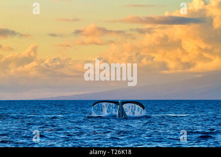 Humpback whale showing its fluke to whale watchers at sunset on Maui. - Stock Photo