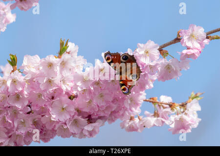 Peacock butterfly collecting pollen from cherry blossom tree as the UK experiences unusually warm weather in late March - Stock Photo