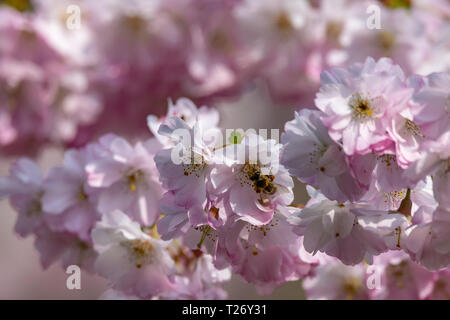 Honey bees collecting pollen from cherry blossom tree as the UK experiences unusally warm weather in late March - Stock Photo