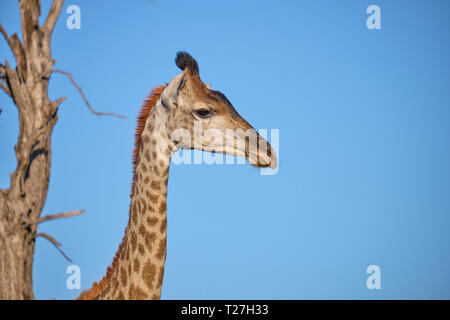Profile head shot of South African Giraffe against blue sky with dead tree in background - Stock Photo