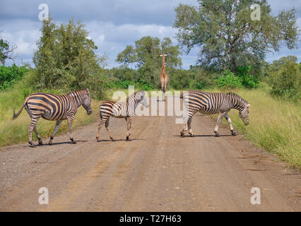 Family on Burchell Zebras, two adults on juvenile, crossing dirt road while a giraffe walks away in backgound - Stock Photo