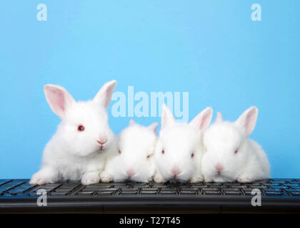 Four adorable white albino baby bunnies perched on a computer keyboard with blue background. One perked up looking to viewers right, the other three f - Stock Photo