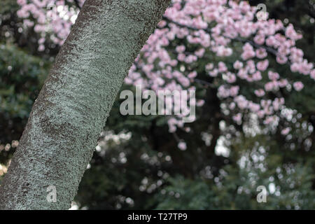 Cherry blossoms were still not fully bloomed when I visited Tokyo but there were a few to find @ Ueno park the most famous spot to view cherry flowers - Stock Photo