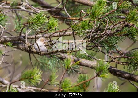 Chaffinches (fringilla coelebs) in Bujaruelo valley, Ordesa y Monte Perdido national park, Aragón, Huesca, Spain. - Stock Photo