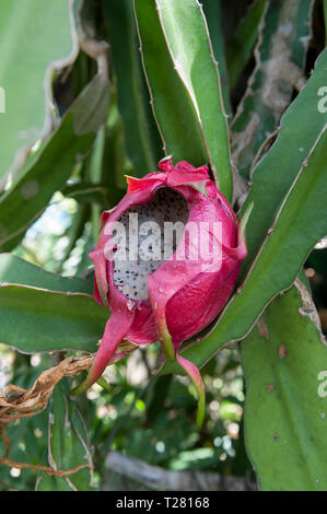 Damage caused by rats to ripe Dragon Fruit (Hylocereus undatus), aka Pitaya blanca or White Dragon Fruit - Stock Photo