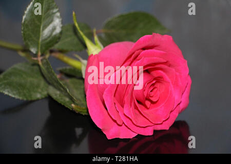 One red rose on a dark background close-up. A beautiful big rose bud has opened. - Stock Photo