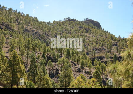 Canary Island pine forest in the interior of the Gran Canaria Island in Spain - Stock Photo