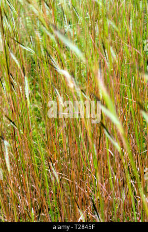 Flower of Tangle head grass movement in the wind - Stock Photo