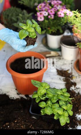 Hands woman planting aromatic plants - Stock Photo