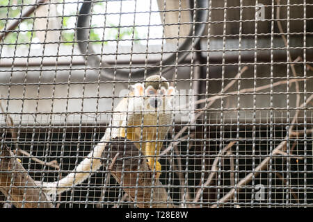 Squirrel Monkey hold timber in cage