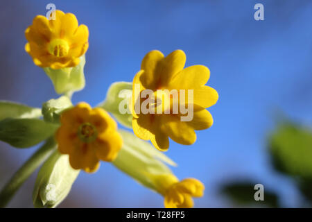 Extreme close up from ground level of the lovely yellow spring flowers of Primula veris. Also known as cowslip or primrose, with a background of blue  - Stock Photo