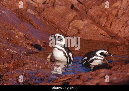 Magellanic penguins (Spheniscus magellanicus), pair in water, Puerto Deseado, Patagonia, Argentina - Stock Photo