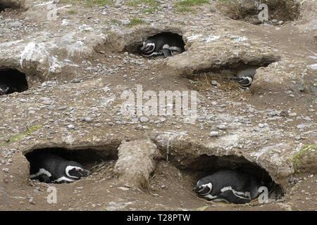 Magellanic penguins (Spheniscus magellanicus), breeding in burrows, Puerto Deseado, Patagonia, Argentina - Stock Photo