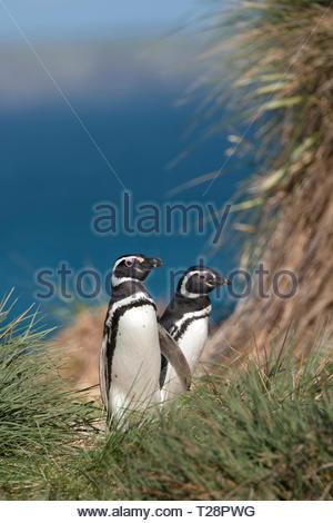 Magellanic penguins (Spheniscus magellanicus) walk through tussock grass on their way to their burrows, Falkland Islands, United Kingdom - Stock Photo