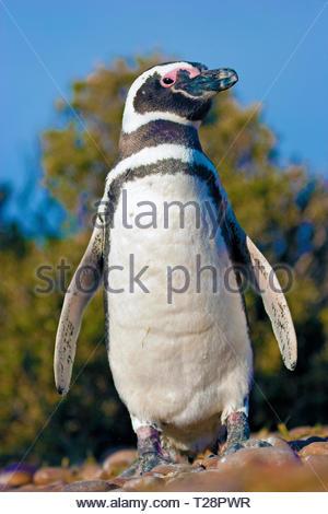 Magellanic penguins (Spheniscus magellanicus), at Puerto Deseado, Patagonia, Argentina - Stock Photo