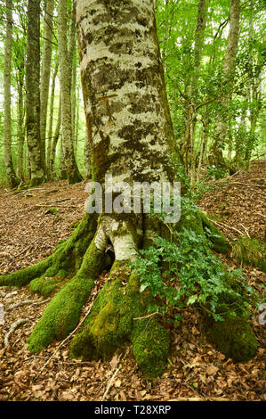 Common holly (Ilex aquifolium) growing between the roots of a beech (Fagus sylvatica) tree at SL-NA 54C trail (Irati Forest, Navarre, Spain) - Stock Photo