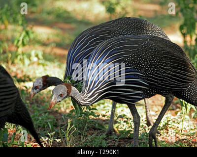Sunlight on blue white & black stripes of two Vulturine Guinea Fowl (Acryllium vulturinum) contrasting with grey & white spots in Tsavo, Kenya,Africa - Stock Photo