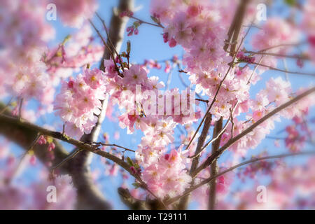 Cherry blossoms over blue sky background - Stock Photo