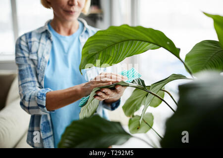 Cleaning leaves of houseplant - Stock Photo