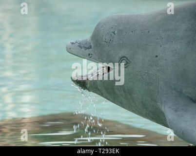Water feature of a Dolphin in one of the basins of the two fountains on Trafalgar Square London, England, UK - Stock Photo