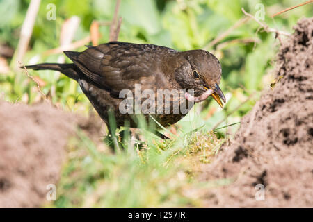 Stirlingshire, Scotland, UK - 31 March 2019: UK weather - a female blackbird swallows a large juicy worm as she takes advantage of  freshly dug soil in a Stirlingshire garden on a beautiful warm spring day Credit: Kay Roxby/Alamy Live News - Stock Photo