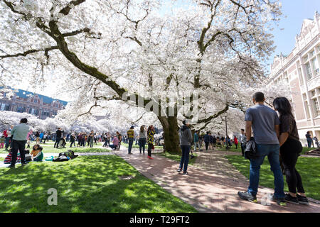 Seattle, Washington: Thousands of visitors gather at the University of Washington Quad as the cherry trees reach peak bloom. Initially planted at the Washington Park Arboretum in 1939, the thirty Yoshino cherry trees were moved onto the Liberal Arts Quadrangle in 1962 where they draw visitors from all over the world each spring. Credit: Paul Christian Gordon/Alamy Live News - Stock Photo