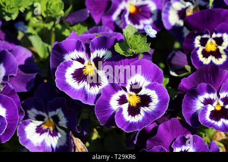 Dark purple with white and yellow center Wild pansy or Viola tricolor or Johnny jump up or Heartsease or Hearts ease or Hearts delight - Stock Photo