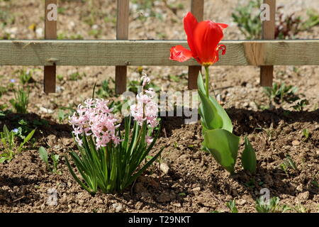 Pink Hyacinths or Hyacinthus flowering plant full of small fully open blooming flowers growing in one spike or raceme next to bright red tulip flower - Stock Photo