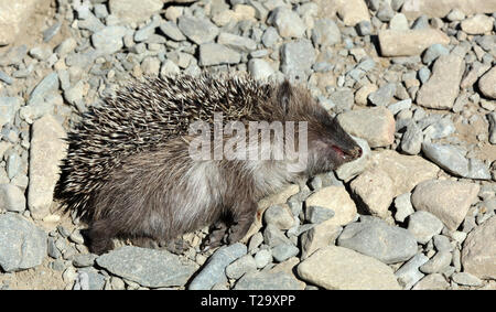 Dead hedgehog in the street - Stock Photo