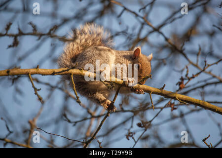Grey squirrel climbing on branches of a tree in Winter - Stock Photo
