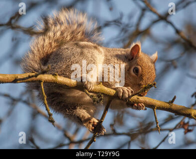 Grey squirrel or Gray squirrel climbing on branches of a tree in Winter - Stock Photo